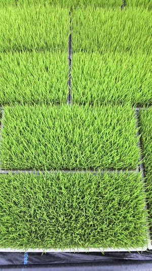 Rice_seedling_2